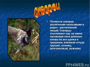 скворец Питаются скворцы различными насекомыми и редко - растительной пищей. Скв
