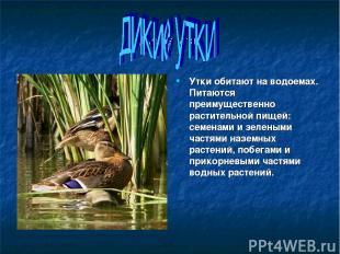 Дикие утки Утки обитают на водоемах. Питаются преимущественно растительной пищей