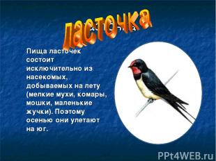 ласточка Пища ласточек состоит исключительно из насекомых, добываемых на лету (м