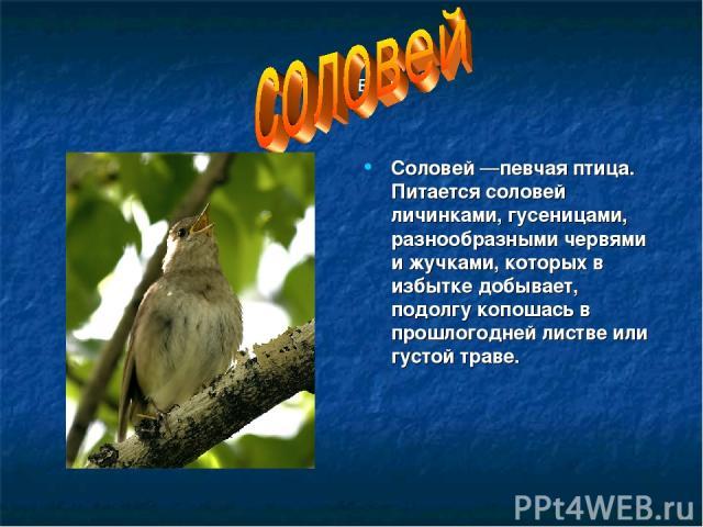 соловей Соловей —певчая птица. Питается соловей личинками, гусеницами, разнообразными червями и жучками, которых в избытке добывает, подолгу копошась в прошлогодней листве или густой траве.