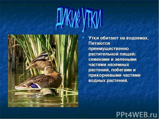 Дикие утки Утки обитают на водоемах. Питаются преимущественно растительной пищей: семенами и зелеными частями наземных растений, побегами и прикорневыми частями водных растений.