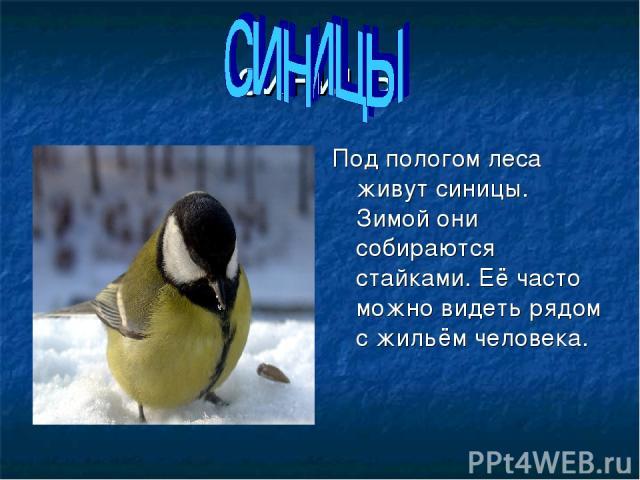 синицы Под пологом леса живут синицы. Зимой они собираются стайками. Её часто можно видеть рядом с жильём человека.