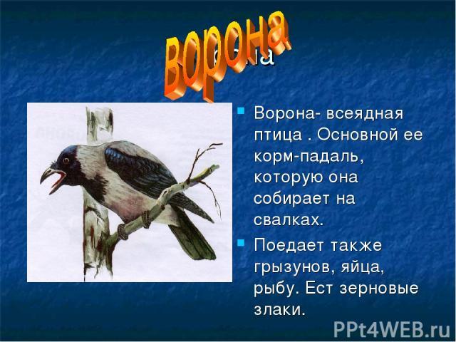 ворона Ворона- всеядная птица . Основной ее корм-падаль, которую она собирает на свалках. Поедает также грызунов, яйца, рыбу. Ест зерновые злаки.