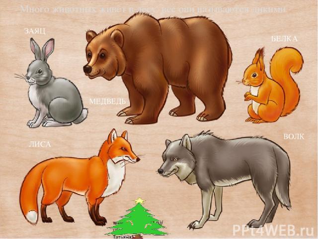 - Много животных живёт в лесу, все они называются дикими. БЕЛКА ВОЛК ЛИСА ЗАЯЦ МЕДВЕДЬ