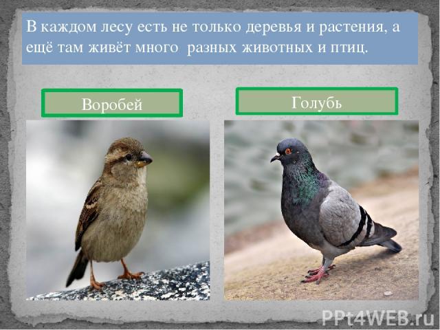 В каждом лесу есть не только деревья и растения, а ещё там живёт много разных животных и птиц. Воробей Голубь