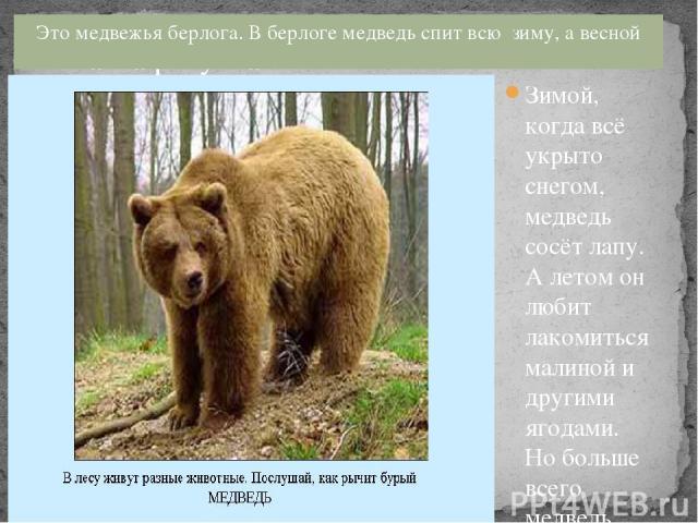 Это медвежья берлога. В берлоге медведь спит всю зиму, а весной просыпается. Зимой, когда всё укрыто снегом, медведь сосёт лапу. А летом он любит лакомиться малиной и другими ягодами. Но больше всего медведь любит мёд. Шуба у медведя тёплая, толстая…