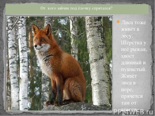 Лиса тоже живёт в лесу. Шёрстка у неё рыжая, хвост длинный и пушистый. Живёт лиса в норе, прячется там от врагов. Лисица, как и волк охотится за мышами, зайцами, птичками. Покажите, как ходит лиса. Хвост пушистый, шерсть ярка, И коварна, и хитра. Зн…