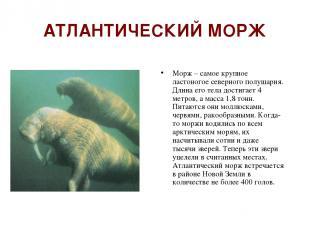 АТЛАНТИЧЕСКИЙ МОРЖ Морж – самое крупное ластоногое северного полушария. Длина ег