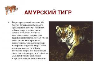 АМУРСКИЙ ТИГР Тигр – прекрасный охотник. Он быстро бегает, способен долго пресле