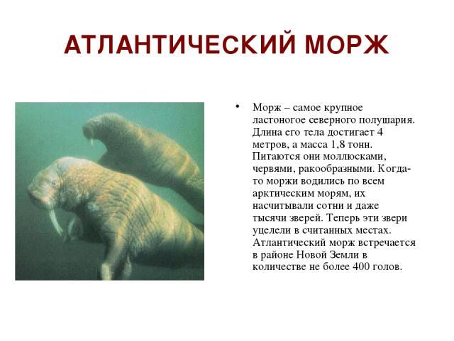 АТЛАНТИЧЕСКИЙ МОРЖ Морж – самое крупное ластоногое северного полушария. Длина его тела достигает 4 метров, а масса 1,8 тонн. Питаются они моллюсками, червями, ракообразными. Когда-то моржи водились по всем арктическим морям, их насчитывали сотни и д…