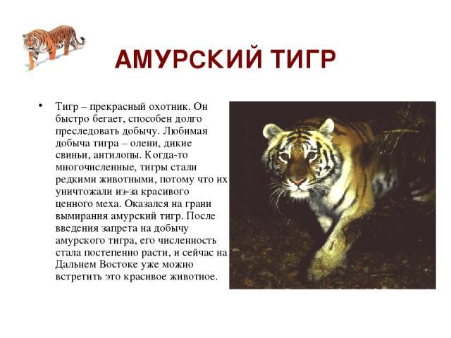 АМУРСКИЙ ТИГР Тигр – прекрасный охотник. Он быстро бегает, способен долго преследовать добычу. Любимая добыча тигра – олени, дикие свиньи, антилопы. Когда-то многочисленные, тигры стали редкими животными, потому что их уничтожали из-за красивого цен…