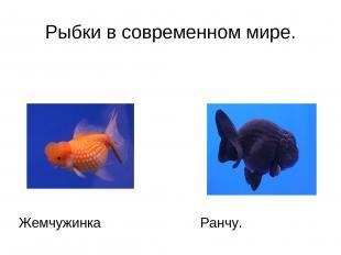 Рыбки в современном мире. Жемчужинка Ранчу.