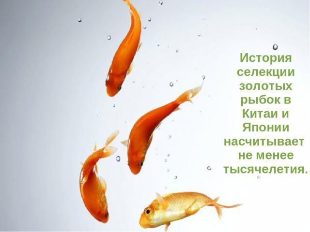 История селекции золотых рыбок в Китаи и Японии насчитывает не менее тысячелетия.