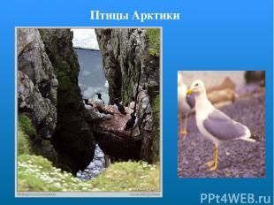 Птицы Арктики