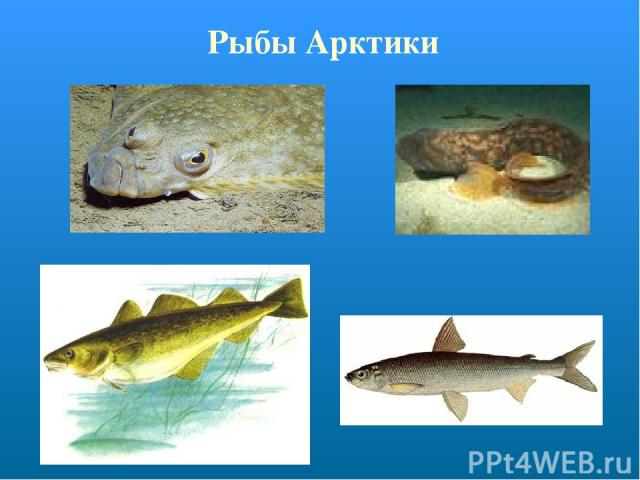 Рыбы Арктики