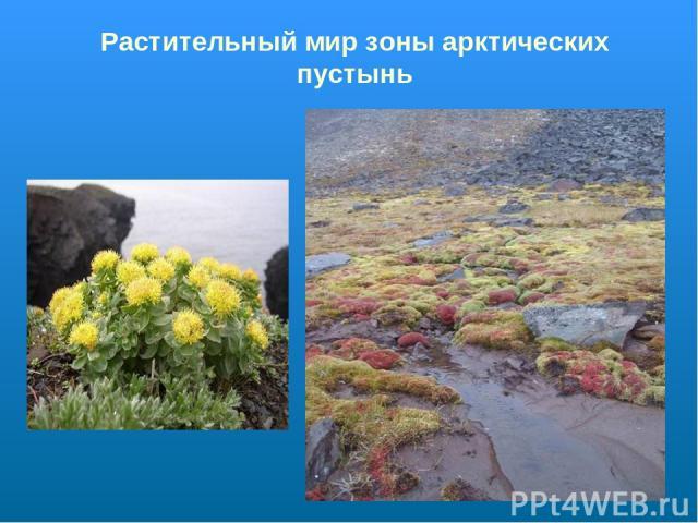Растительный мир зоны арктических пустынь