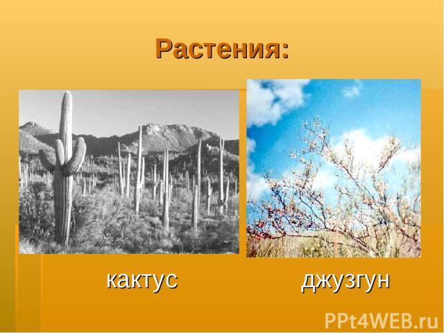 Растения: кактус джузгун