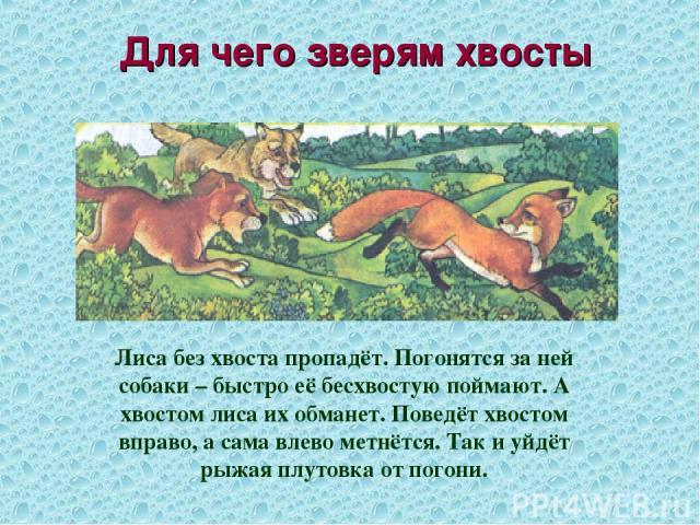 Для чего зверям хвосты Лиса без хвоста пропадёт. Погонятся за ней собаки – быстро её бесхвостую поймают. А хвостом лиса их обманет. Поведёт хвостом вправо, а сама влево метнётся. Так и уйдёт рыжая плутовка от погони.