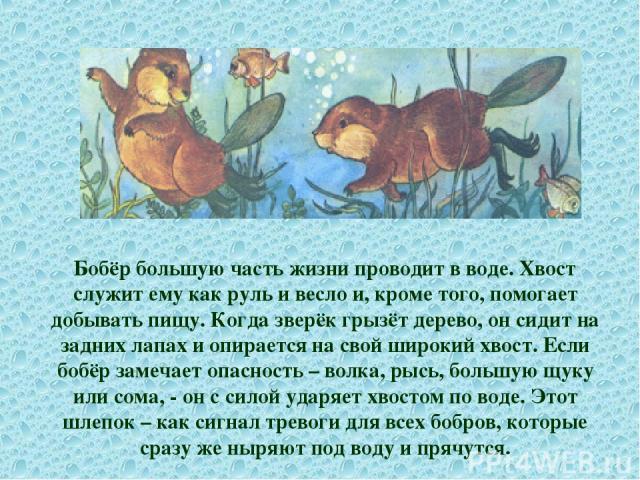 Бобёр большую часть жизни проводит в воде. Хвост служит ему как руль и весло и, кроме того, помогает добывать пищу. Когда зверёк грызёт дерево, он сидит на задних лапах и опирается на свой широкий хвост. Если бобёр замечает опасность – волка, рысь, …