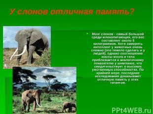 У слонов отличная память? Мозг слонов - самый большой среди млекопитающих, его в