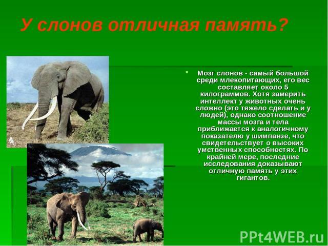 У слонов отличная память? Мозг слонов - самый большой среди млекопитающих, его вес составляет около 5 килограммов. Хотя замерить интеллект у животных очень сложно (это тяжело сделать и у людей), однако соотношение массы мозга и тела приближается к а…