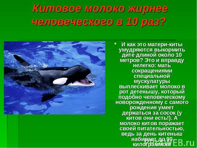 Китовое молоко жирнее человеческого в 10 раз? И как это матери-киты умудряются выкормить дите длиной около 10 метров? Это и вправду нелегко: мать сокращениями специальной мускулатуры выплескивает молоко в рот детенышу, который подобно человеческому …