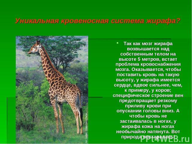 Уникальная кровеносная система жирафа? Так как мозг жирафа возвышается над собственным телом на высоте 5 метров, встает проблема кровоснабжения мозга. Оказывается, чтобы поставить кровь на такую высоту, у жирафа имеется сердце, вдвое сильнее, чем, к…