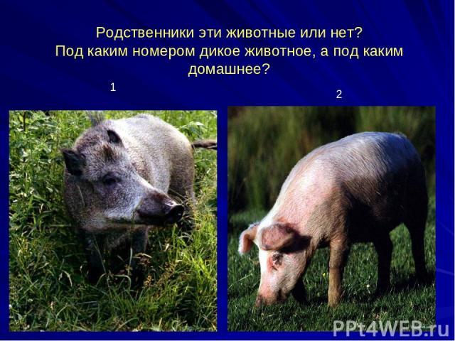 Родственники эти животные или нет? Под каким номером дикое животное, а под каким домашнее? 1 2