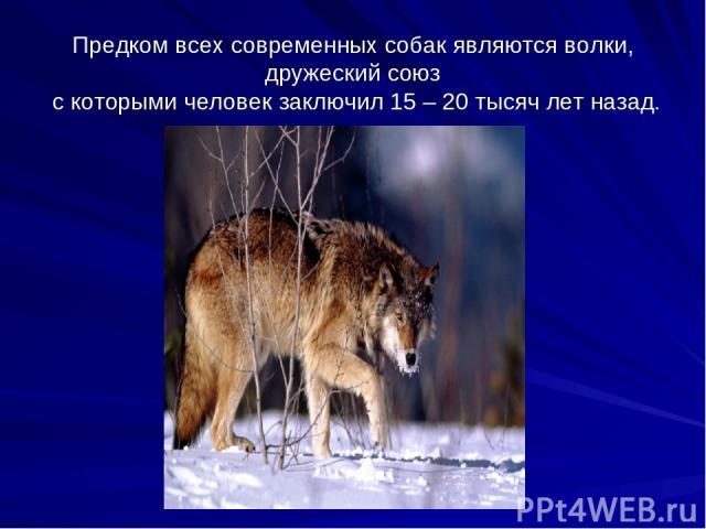 Предком всех современных собак являются волки, дружеский союз с которыми человек заключил 15 – 20 тысяч лет назад.