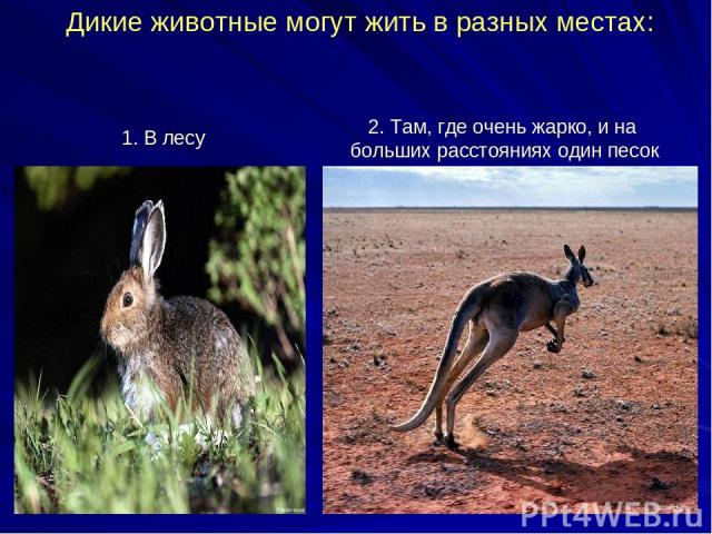 Дикие животные могут жить в разных местах: 1. В лесу 2. Там, где очень жарко, и на больших расстояниях один песок