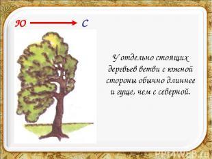 У отдельно стоящих деревьев ветви с южной стороны обычно длиннее и гуще, чем с с