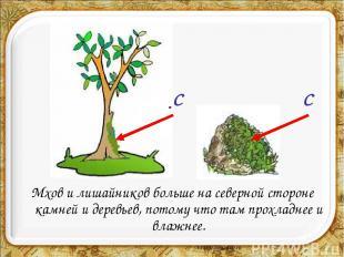 Мхов и лишайников больше на северной стороне камней и деревьев, потому что там п