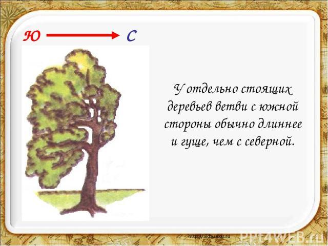 У отдельно стоящих деревьев ветви с южной стороны обычно длиннее и гуще, чем с северной. Ю С