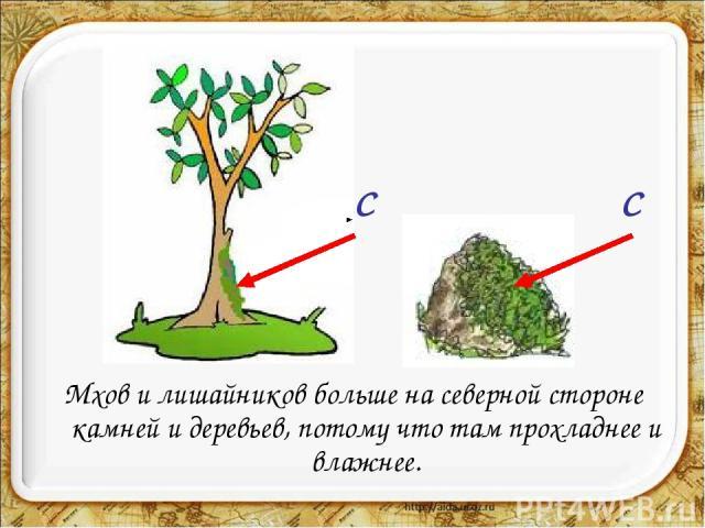 Мхов и лишайников больше на северной стороне камней и деревьев, потому что там прохладнее и влажнее. С С