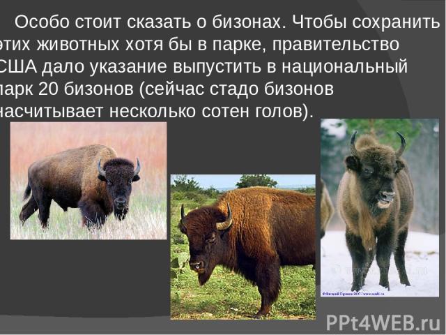 Особо стоит сказать о бизонах. Чтобы сохранить этих животных хотя бы в парке, правительство США дало указание выпустить в национальный парк 20 бизонов (сейчас стадо бизонов насчитывает несколько сотен голов).