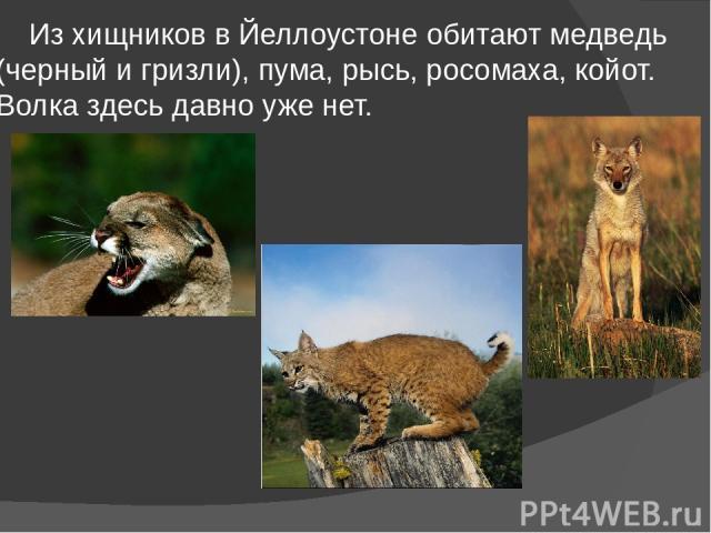 Из хищников в Йеллоустоне обитают медведь (черный и гризли), пума, рысь, росомаха, койот. Волка здесь давно уже нет.