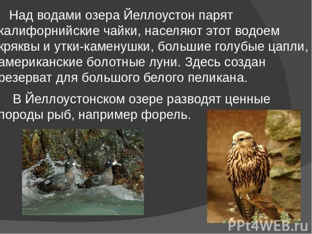 Над водами озера Йеллоустон парят калифорнийские чайки, населяют этот водоем кряквы и утки-каменушки, большие голубые цапли, американские болотные луни. Здесь создан резерват для большого белого пеликана. В Йеллоустонском озере разводят ценные пород…