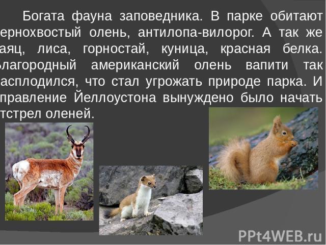 Богата фауна заповедника. В парке обитают чернохвостый олень, антилопа-вилорог. А так же заяц, лиса, горностай, куница, красная белка. Благородный американский олень вапити так расплодился, что стал угрожать природе парка. И управление Йеллоустона в…