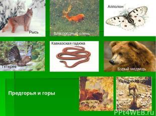 Рысь Апполон Кавказская гадюка Тетерев Благородный олень Бурый медведь Кавказски