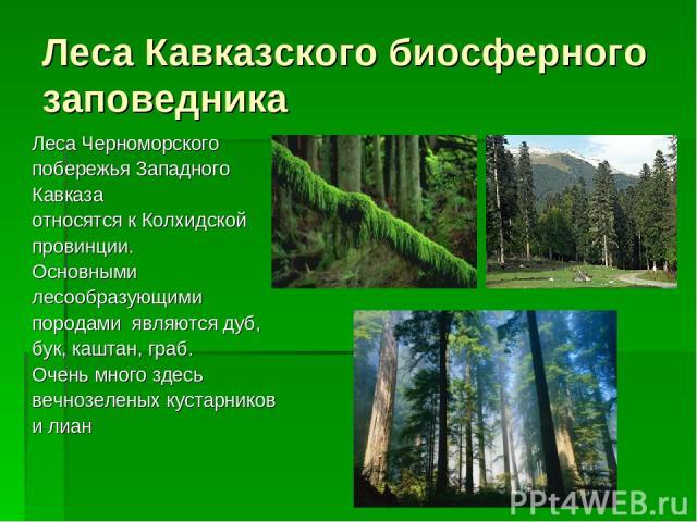 Леса Кавказского биосферного заповедника Леса Черноморского побережья Западного Кавказа относятся к Колхидской провинции. Основными лесообразующими породами являются дуб, бук, каштан, граб. Очень много здесь вечнозеленых кустарников и лиан