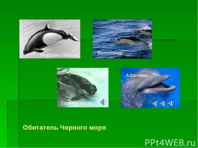 Обитатель Черного моря Морская свинья Белобочка Тюлень-монах Афалина