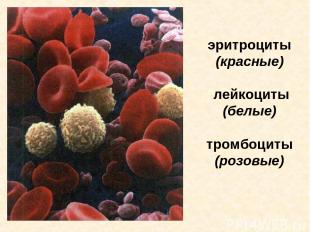 эритроциты (красные) лейкоциты (белые) тромбоциты (розовые) Эритроциты (красные)