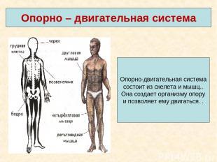 Опорно – двигательная система Опорно-двигательная система состоит из скелета и м