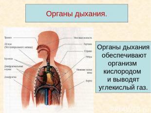 Органы дыхания. Органы дыхания обеспечивают организм кислородом и выводят углеки