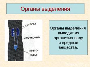 Органы выделения Органы выделения выводят из организма воду и вредные вещества.