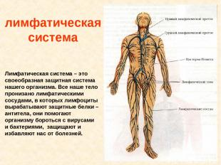 лимфатическая система Лимфатическая система – это своеобразная защитная система