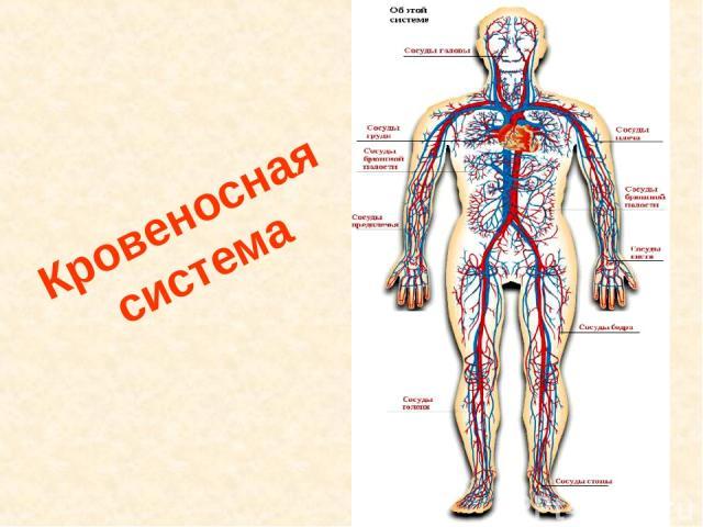 Кровеносная система Кровеносная система.