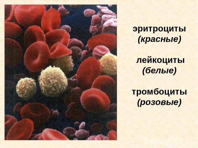 эритроциты (красные) лейкоциты (белые) тромбоциты (розовые) Эритроциты (красные), лейкоциты (белые) и тромбоциты (розовые).