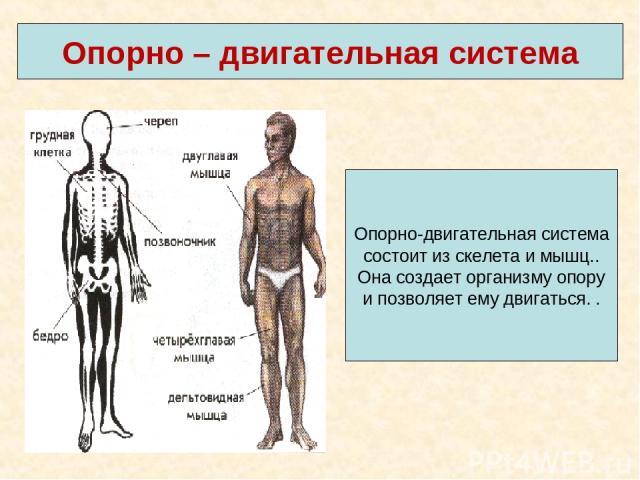 Опорно – двигательная система Опорно-двигательная система состоит из скелета и мышц.. Она создает организму опору и позволяет ему двигаться. .