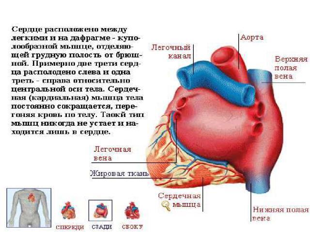 Сердце расположено между лёгкими, на диафрагме – куполообразной мышце, отделяющей грудную полость от брюшной. Сердечная (кардиальная) мышца тела постоянно сокращается, перегоняя кровь по телу. Такой тип мышц никогда не устаёт и находится лишь в сердце.